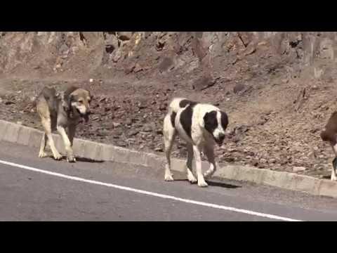 видео: Аборигенные САО Таджикистана   Саги Дахмарда из Ягноба, таджикская порода овец Джойдори