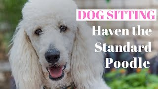 Dog sitting for Haven the Standard Poodle! Standard Poodle 101 information
