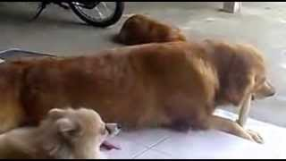 Pomeranian Vs Golden Retriever Haha!!