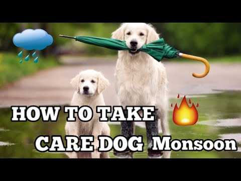 How to take care dog in monsoon    Rainy Season tips For Your Dog   Dog channal