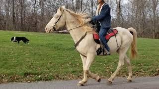 Prince Perlino 4 Beat Racking Kentucky Mountain Gaited Horse
