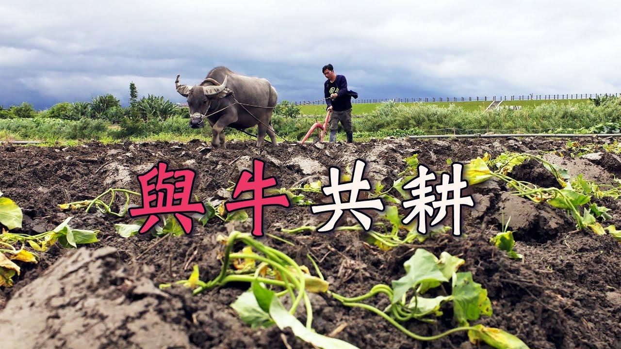 【耕牛文化】與牛共耕|我們的島(第1066集 2020-08-03)