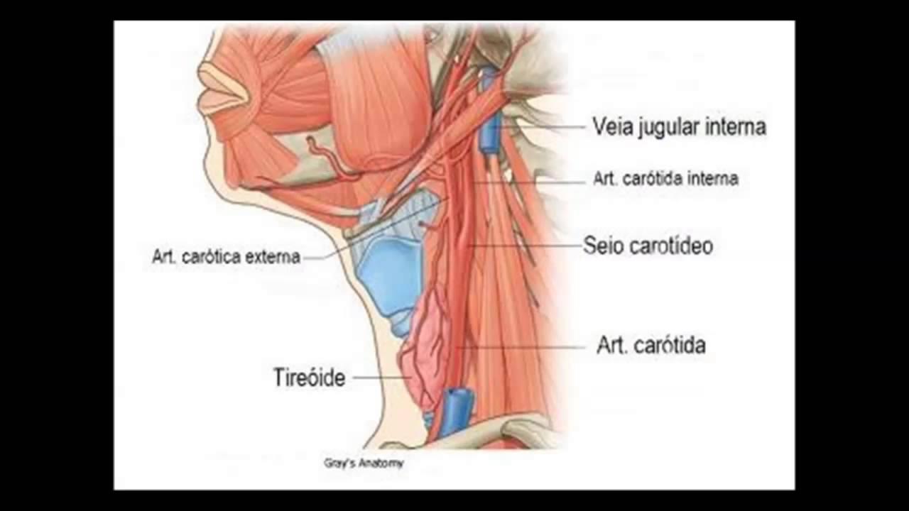 Anatomia da Aorta e do Sistema Carotídeo - YouTube