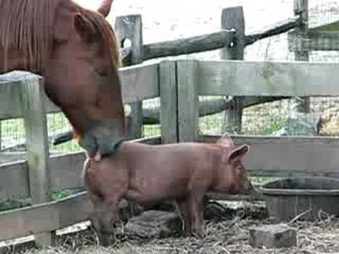 Dont lick the pig
