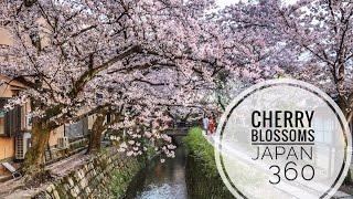 360 Video Cherry Blossoms Japan