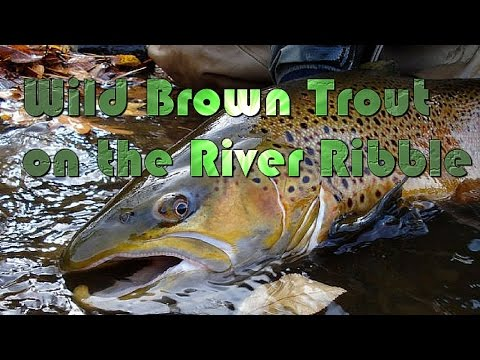 River Ribble Wild Brown Trout Fishing