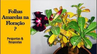 Rosa do Deserto com Folhas Amarelas durante a Floração é Normal?