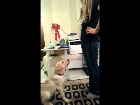 """SERVICE DOG TRAINING """"touch"""" command."""