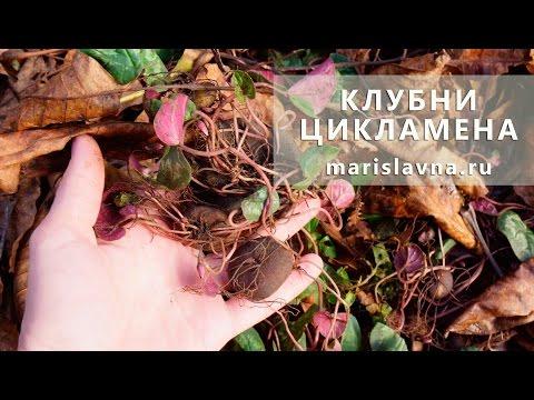 Клубни цикламена от гайморита и для высадки в сад