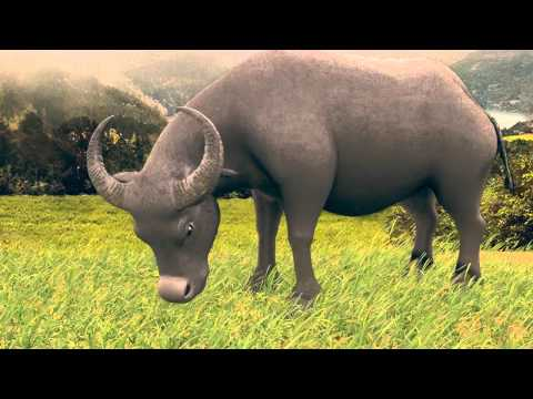 3D Animation Con Trâu (Test)