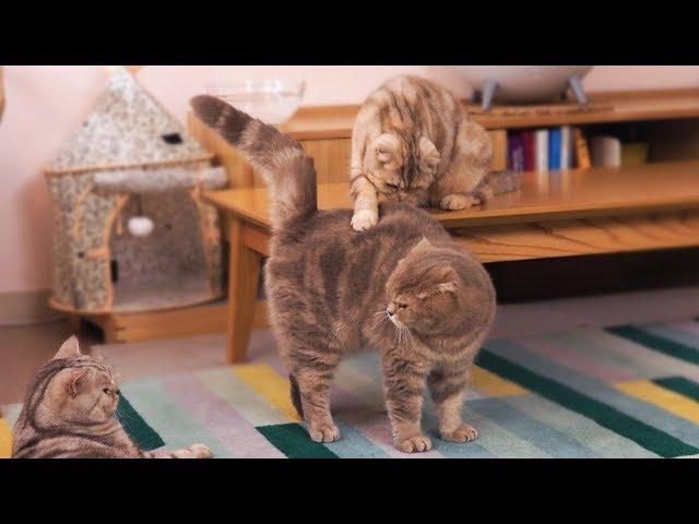 동생들 싸움을 말리는 누나 고양이