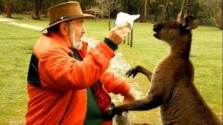 Кенгуру дерутся с человеком: кенгуру против человека. Видео про Австралию(Кенгуру дерутся с человеком: драка кенгуру с человеком, видео. Австралия: кенгуру против человека, видео...., 2016-01-13T11:25:57.000Z)