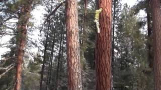 Pacific Ponderosa Pine, OR, USA. Желтая сосна, Орегон, США (polozov 208)