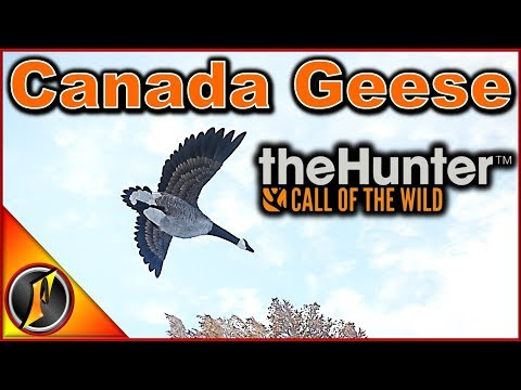 Canada Geese In Call Of The Wild!