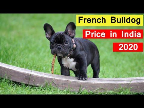 French Bulldog Price In India 2020 In Hindi
