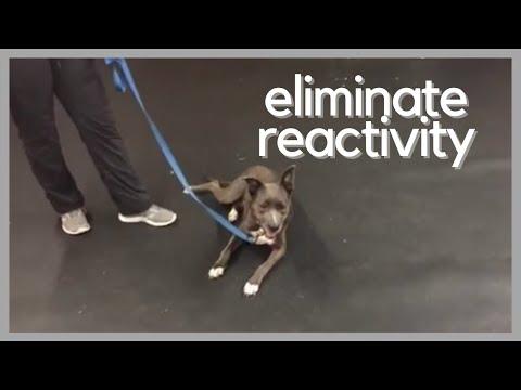 Dog Training | Using a remote collar to eliminate reactivity | Solid K9 Training Dog Training