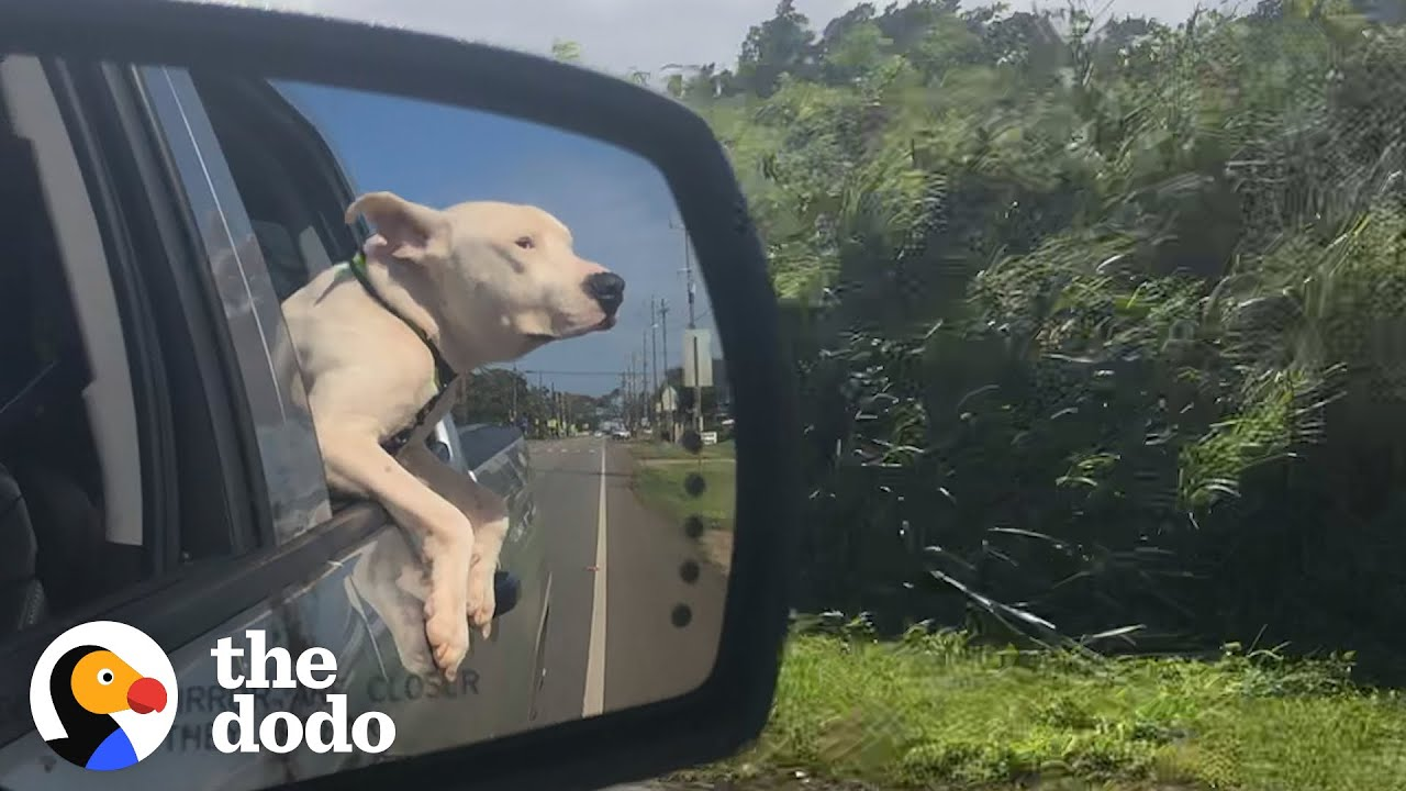 This Pittie Was Not Supposed To Make It...Now Look At His Transformation! | The Dodo Pittie Nation