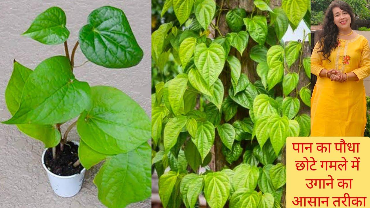 घर पर पान का पौधा कैसे लगाएं ?पान के पौधे के लिए सबसे अच्छी खाद How to grow Paan Plant at Home?