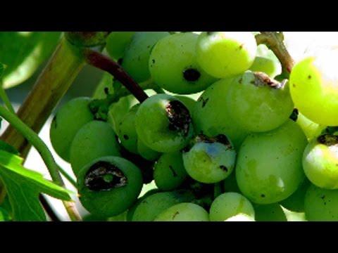 Обработка винограда от болезней и вредителей. Схема защиты