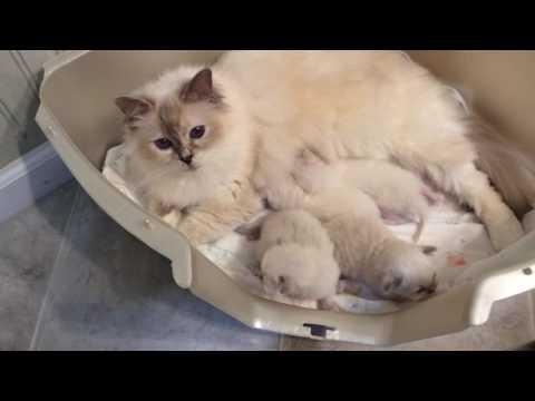 Baby Birman Kittens