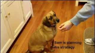 Dog Training - Teaching Focus Or 'look At Me'