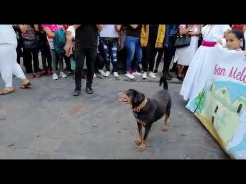 Mazapán el perro Calendero de Oaxaca