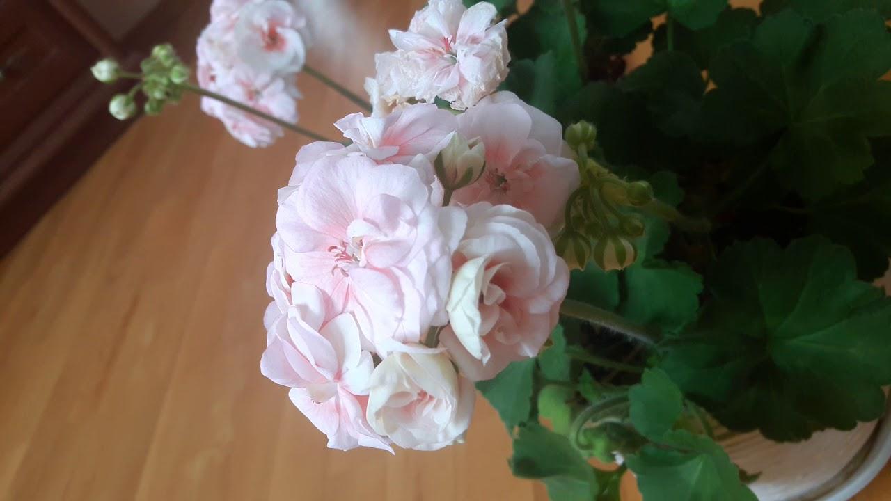29 мар 2018. Продам пеларгонии укорененные 07/2018, харьков, украина. Royal black rose цена и наличие, сообщите, пожалуйста. Вверх.