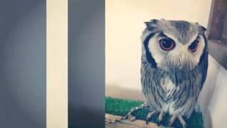 【Owl cafe】Harajuku Tokyo Japan/ふくろうの里/