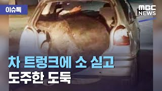 [이슈톡] 차 트렁크에 소 싣고 도주한 도둑 (2021…