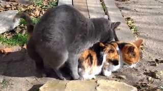 Gatos apareándose