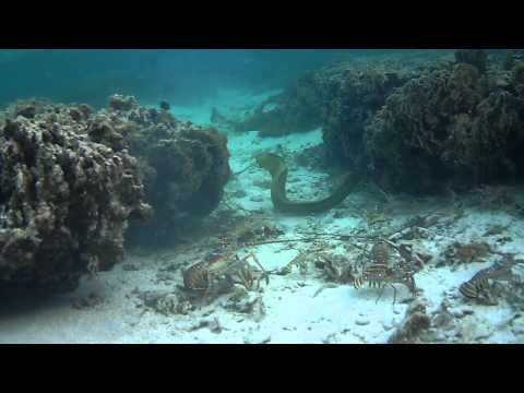 Caribbean Spiny Lobsters vs Green Moray Eel
