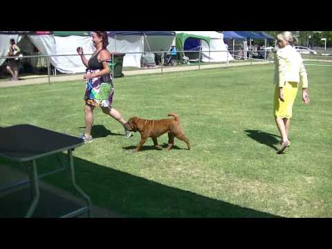 Christmas dog show Shar pei in Canberra 2016