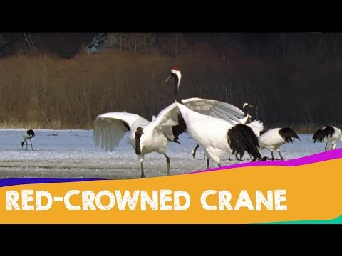 The Crowned Crane's Courtship Dance   Japan