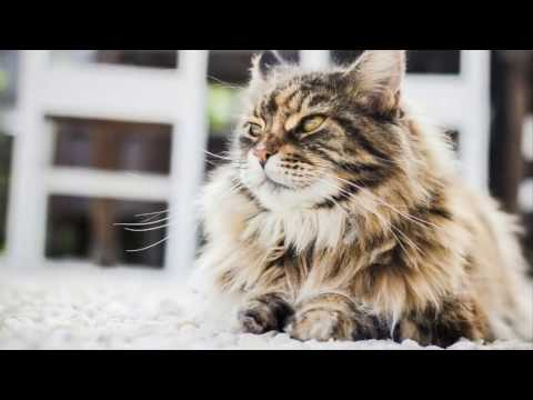 about Caring for a Persian Cat
