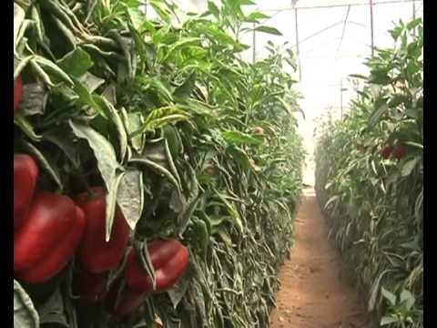 Cây đũa thần trong phát triển nông nghiệp Israel