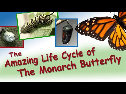 Amazing Life Cycle of a Monarch Butterfly
