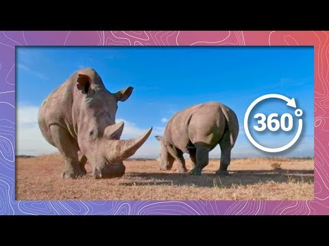 Can In Vitro Fertilization Save the Northern White Rhino from Extinction? | Wildlife in 360 VR