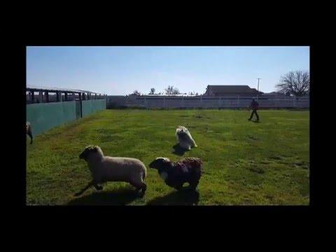 Bouvier Sheep Herding Practice