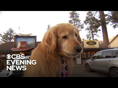 mayor-max-the-golden-retriever-brings-california-town-together