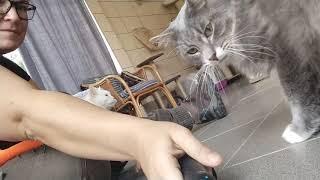 Белая кошка и любопытный серый кот