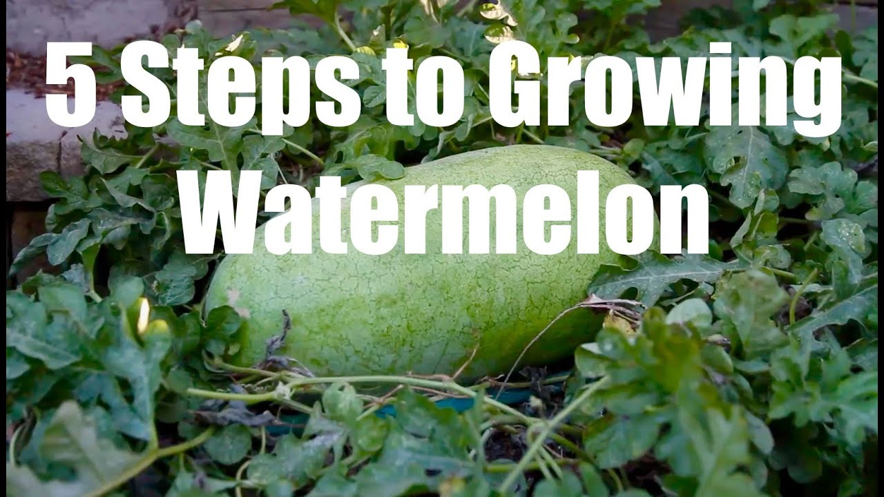 5 Steps To Growing Watermelon Youtube