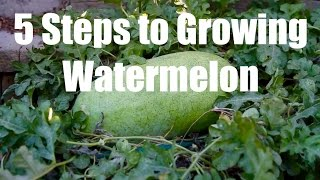5 Steps to Growing Watermelon - in 4K