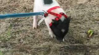 Micro Pig Walking