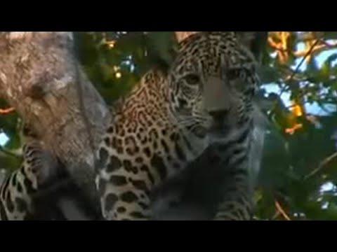 Master Hound Cat Hunt - Jaguar - BBC Animals