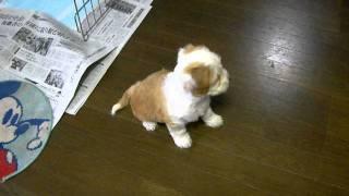 珍犬チベタン、テリア生後2ヶ月の 可愛い仔犬 親姉妹と 別れの日.