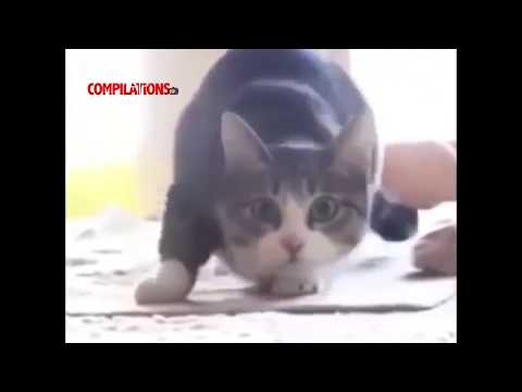 Cutest Cats Dancing 2017 OMG ADORABLE!!!