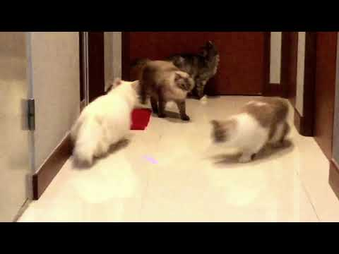 """White """"Persian Cat"""" The glamour pusses of the feline world!"""