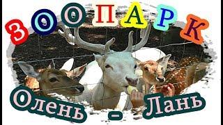 █ Лань / Олень МАЛЕНЬКИЙ / ZOO Для ДЕТЕЙ / Deer...