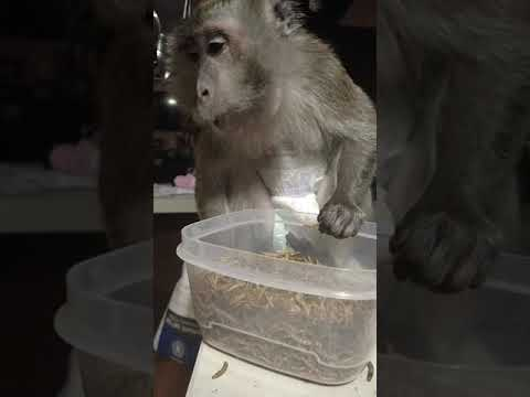 Monkey practices for Fear Factor eating contest