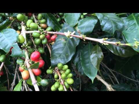 Арабика, робуста и другие типы кофе, виды кофейных зерен